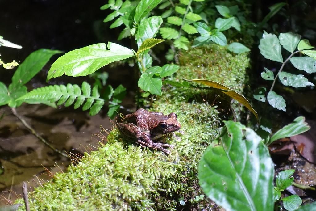 靜止不動的褐樹蛙。攝影:許芷榕
