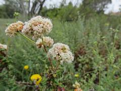 Wild Buckwheat?