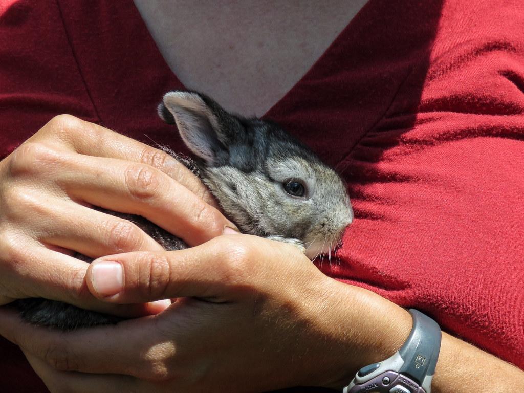 Eileen Tannas With Baby Flemish Giant Rabbit Practically N