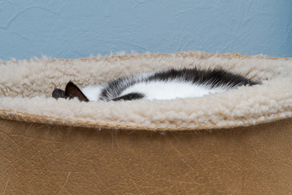 Our cat Scout sleeps curled up in her heated cat bed in my office in February 2010