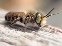 Megachile rotundata (m)