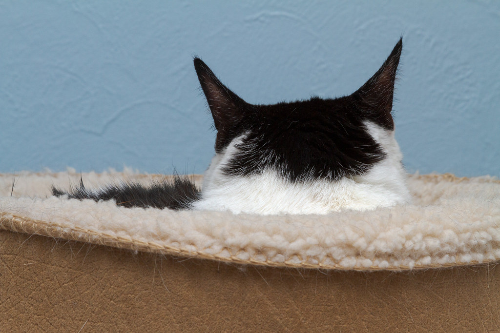 Our cat Scout with her back to me as she relaxes in her heated cat bed in my office in February 2010