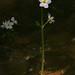 Wasserfeder (Hottonia palustris)