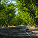 Pecan Trees - Las Cruces, New Mexico