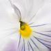 Viola tricolor, 2.14.18