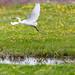 Little Egret, Doñana NP, Spain