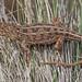 Monaro Earless Dragon (Tympanocryptis osbornei)