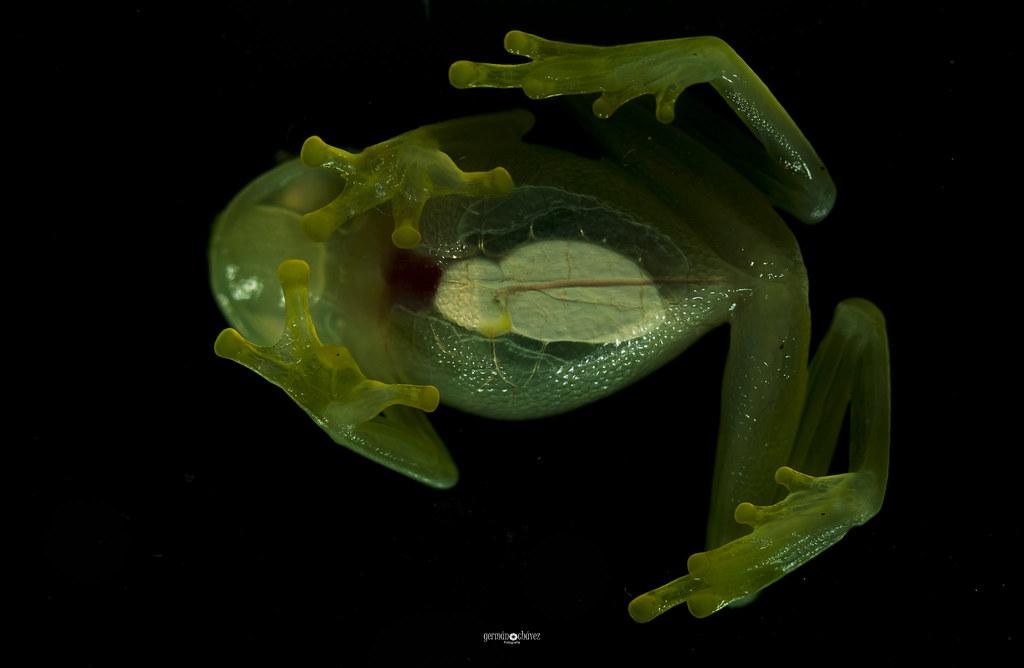 Glassfrog belly (Hyalinobatrachium carlesvilai)