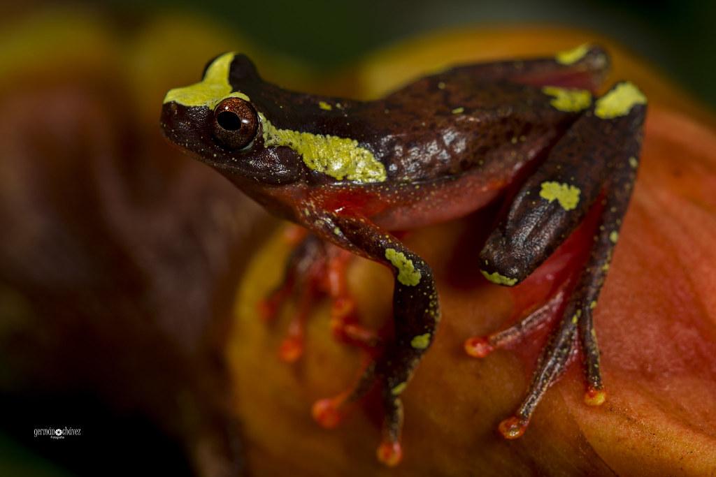Dendropsophus sarayacuensis (Sarayacu´s clown frog)
