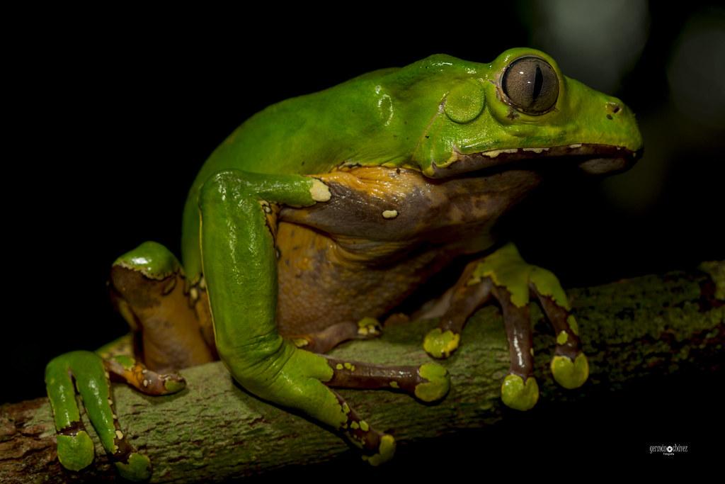 Amazon bicolor monkey frog (Phyllomedusa bicolor)
