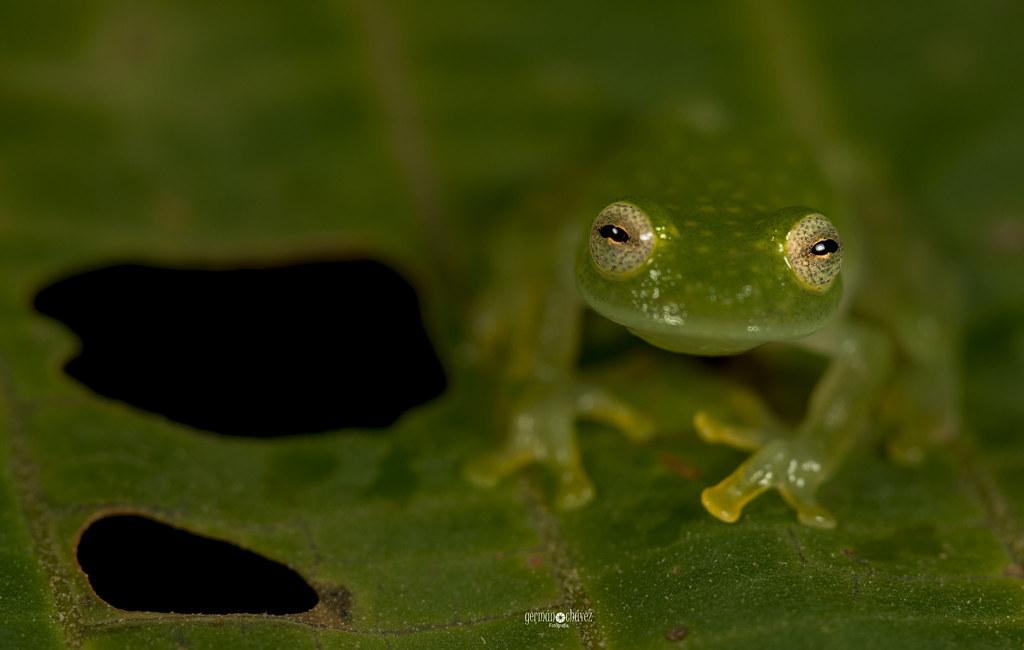 Glassfrog (Hyalinobatrachium carlesvilai)