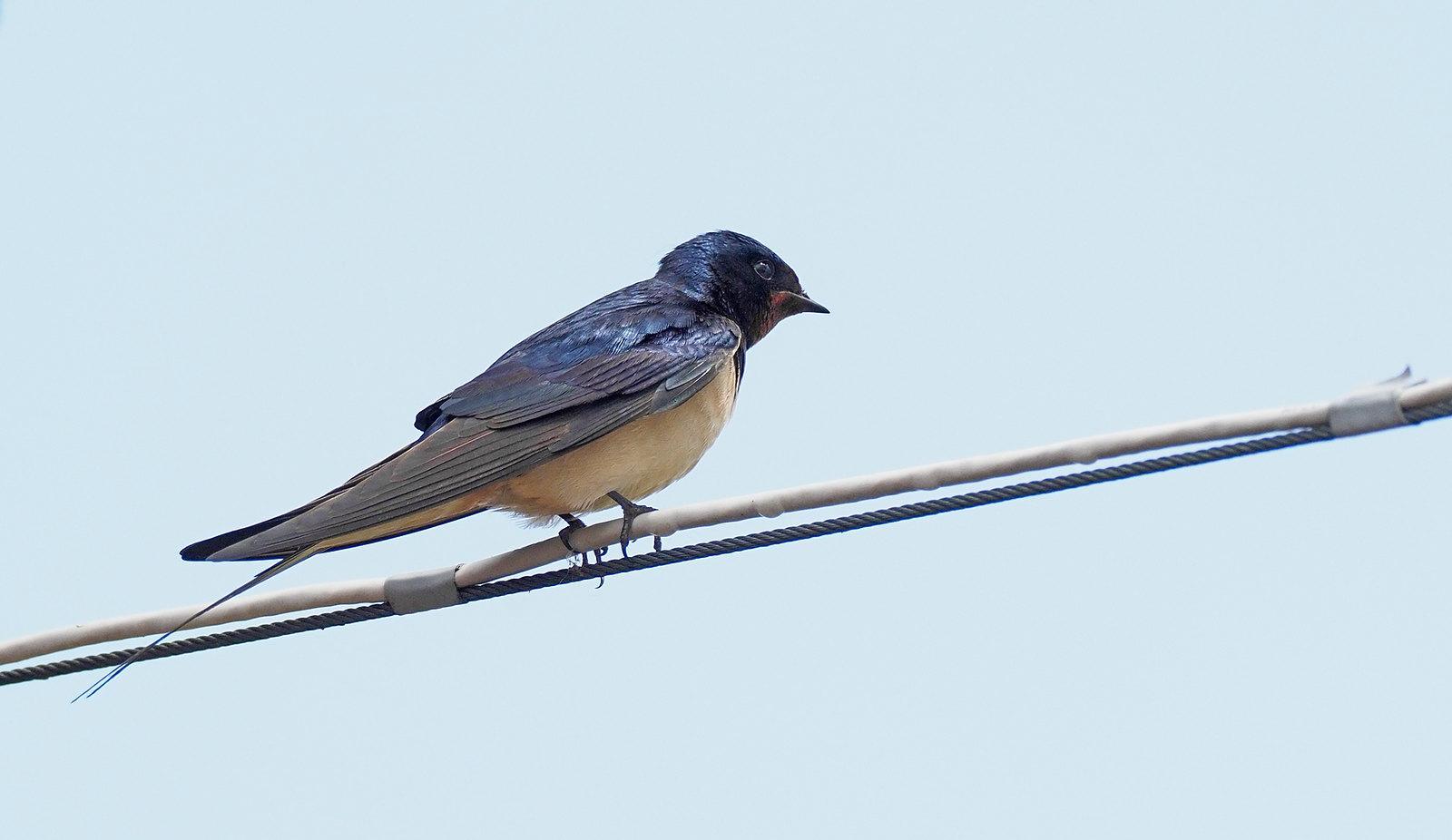 Swallows on the farm