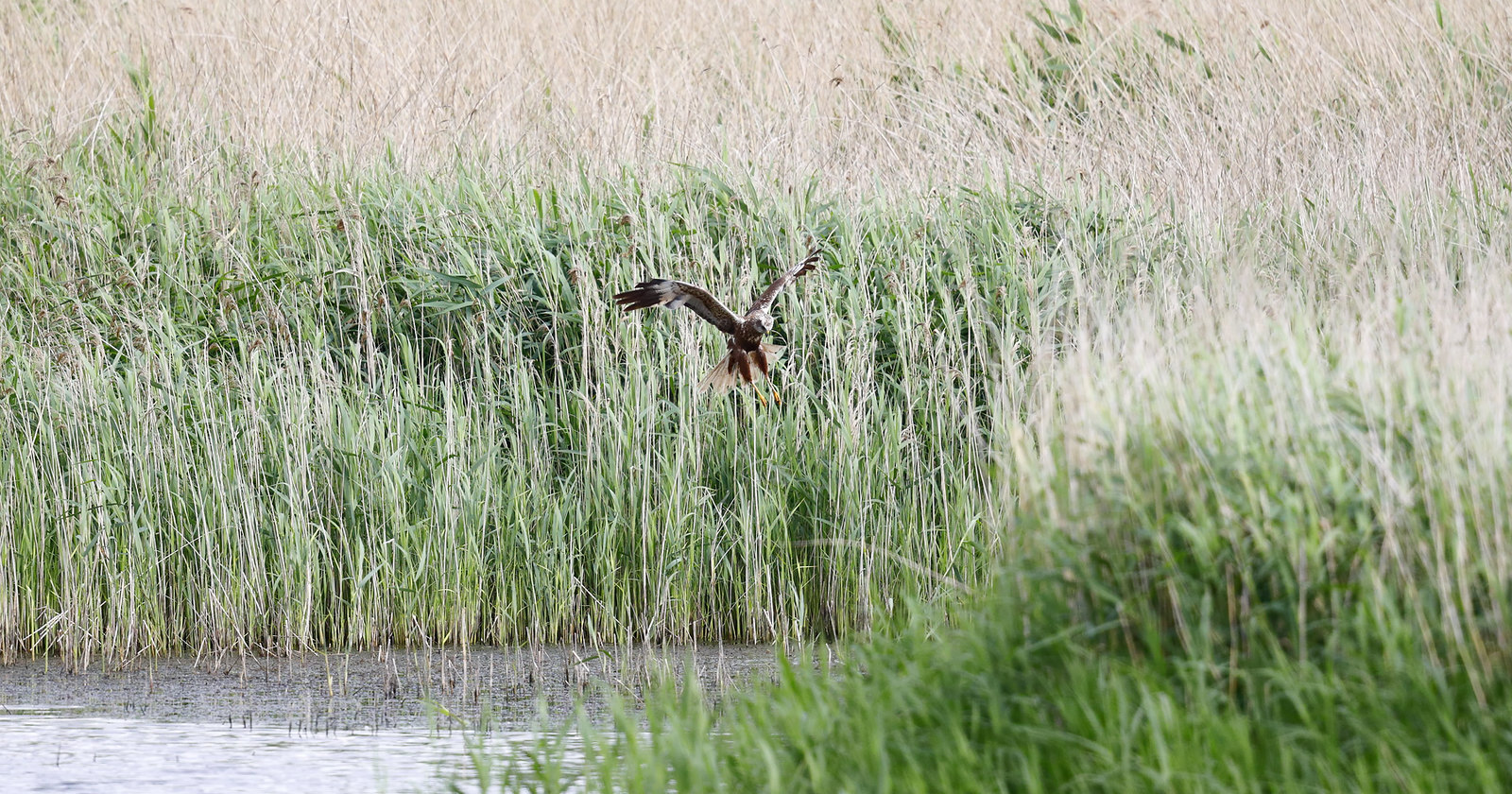 Marsh Harrier after Coot chicks