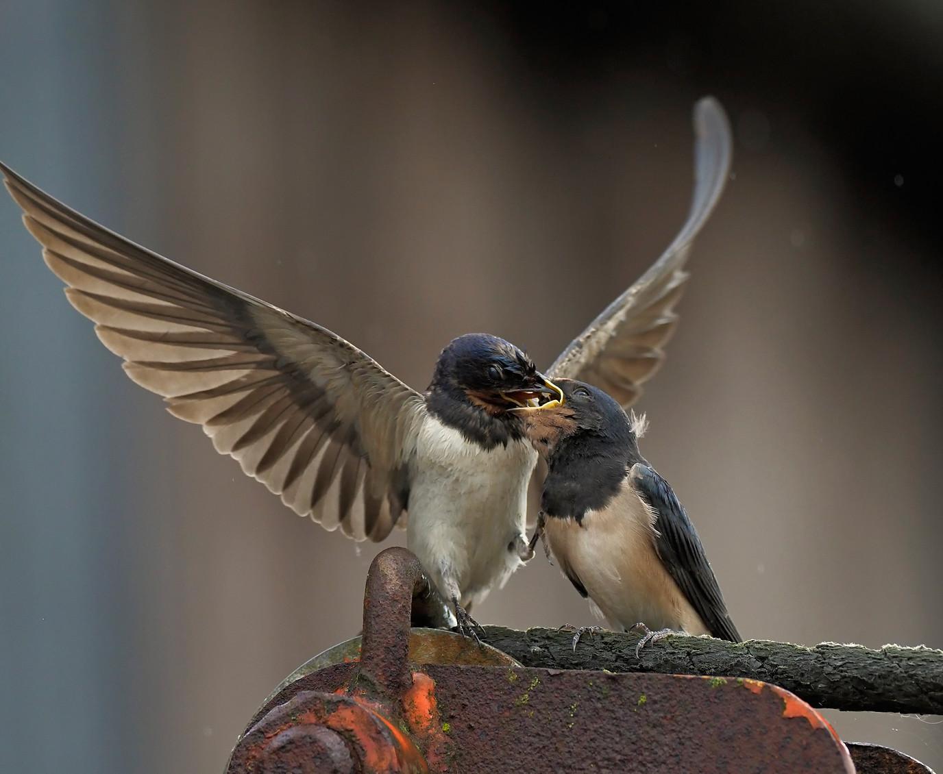 New Swallows on the farm