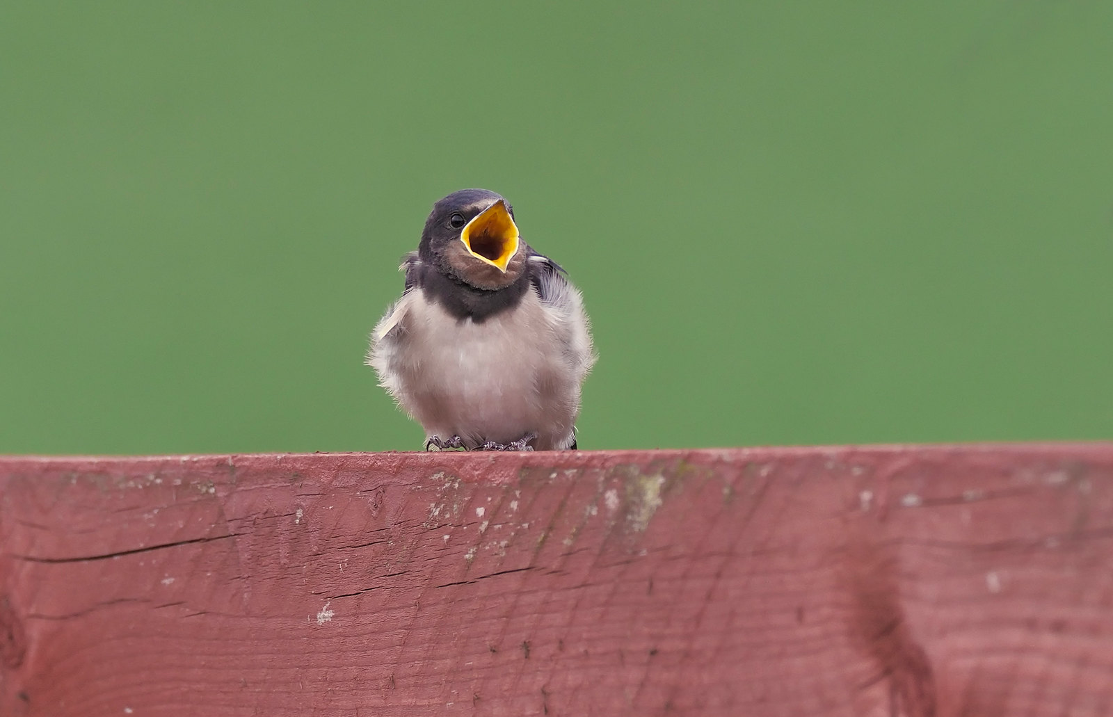 New Swallows on the farm - what a gob!