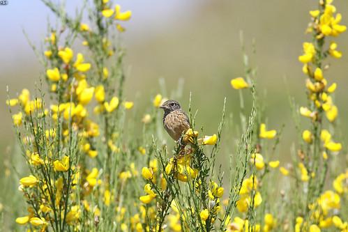 Cartaxo-nortenho (Saxicola rubetra)