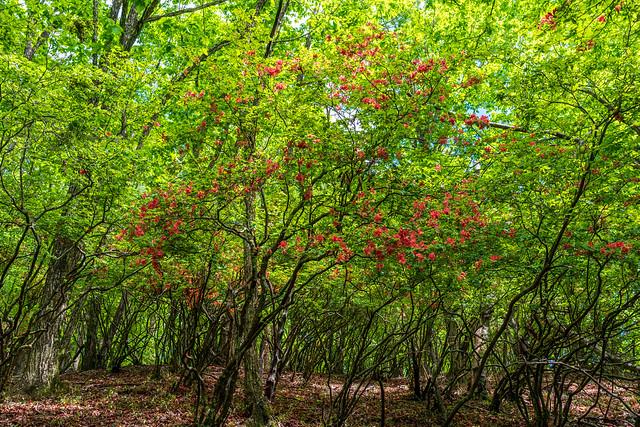 道際にはヤマツツジが咲く
