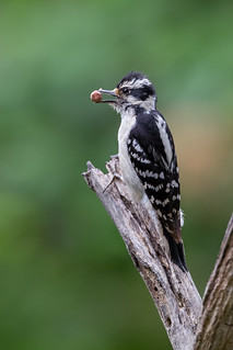 Hairy Woodpecker with the prize | by Rob & Amy Lavoie