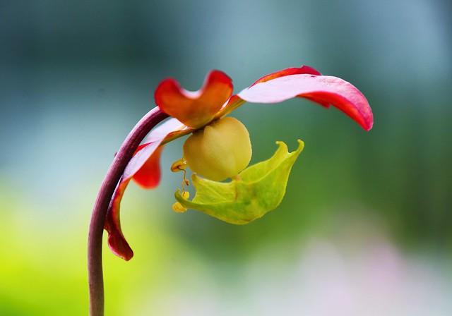 Rote Kannenpflanze, Sarracenia Purpurea, Kulturform