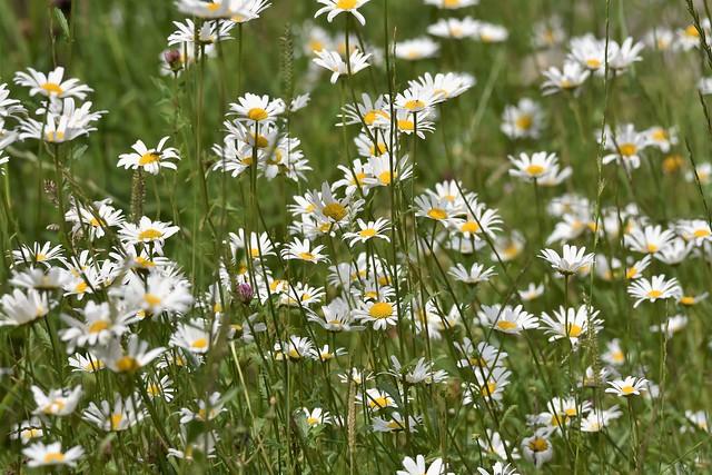 Daisy meadow.