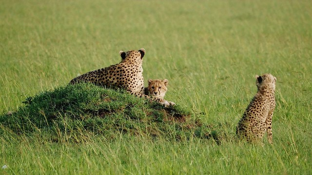 Cheetah Family (Acinonyx jubatus)