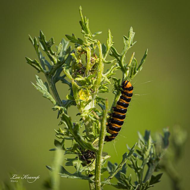 Caterpillar Cinnabar moth | Rups Sint Jacobsvlinder