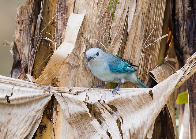 0P7A4486  Blue-gray Tanager, Panama