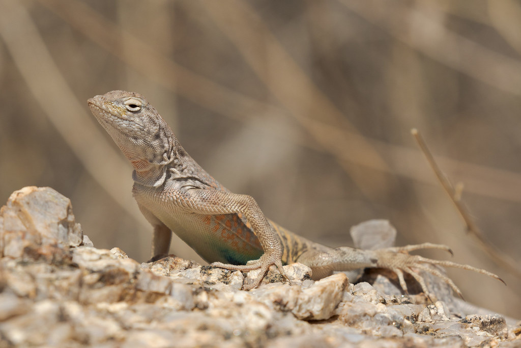 A molting greater earless lizard basks in the sun along the Tom's Thumb Trail in McDowell Sonoran Preserve in Scottsdale, Arizona in April 2018
