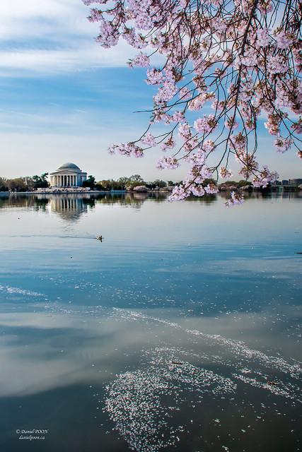 Cherry Blossom  - Tidal Basin, Washington DC