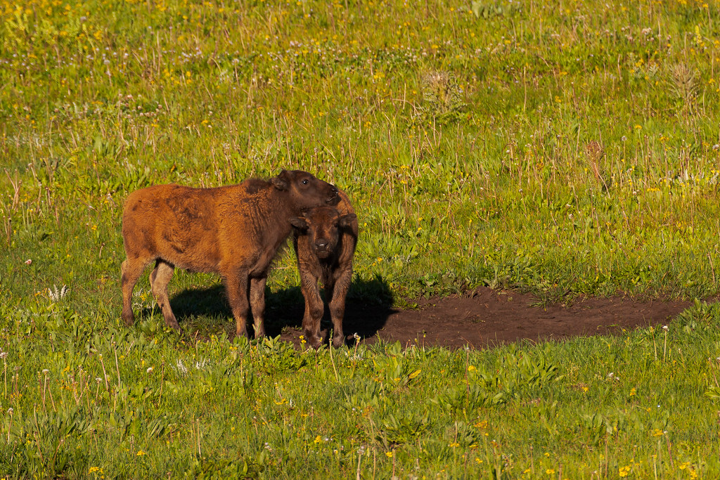 An American bison calf rests its head on another calf as they play in a wallow in Yellowstone National Park in Wyoming in July 2004