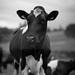 Cute moo cow