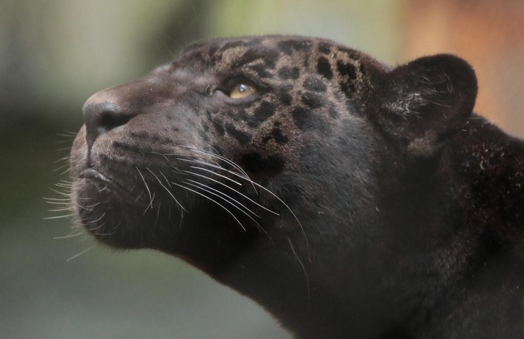 jaguar Leya artis 094A0495