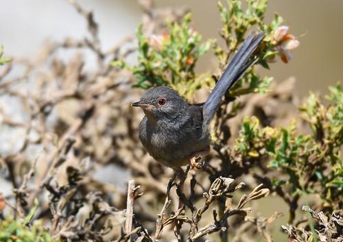 Toutinegra-do-Mato / Dartford Warbler - juvenile?