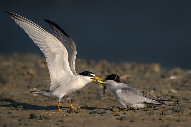 Least Tern food exchange 2(3): Beak-to-Beak