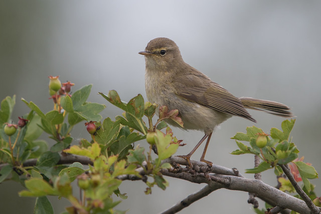 Which is it?  Chiffchaff or Willow Warbler?