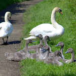 Young swan family group on the canal towpath at Preston