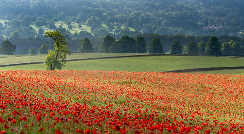 poppy poppies poppyfield chatsworthestate derbyshire earlysummer