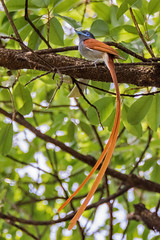 Африканская райская мухоловка, Terpsiphone viridis granti, African Paradise-Flycatcher