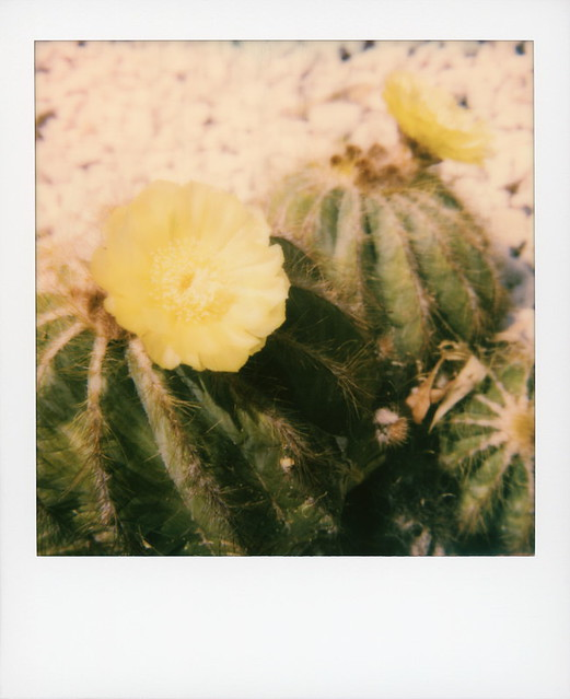 Hollywood Spring - Cactus Flowers 2