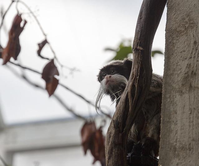 Bearded emperor tamarin, London Zoo, Regent's Park, Camden, London NW1, UK