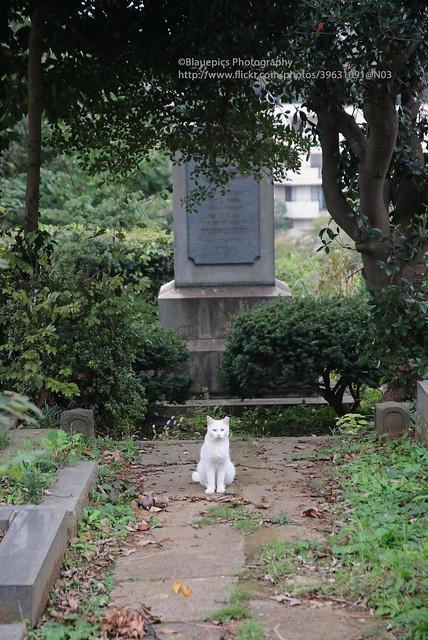 Yokohama, Foreign general cemetery, white cat