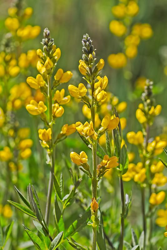 Wild-Flower-16-7D1-053119