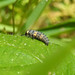 Ladybird Larvae at Chesworth Farm, Horsham