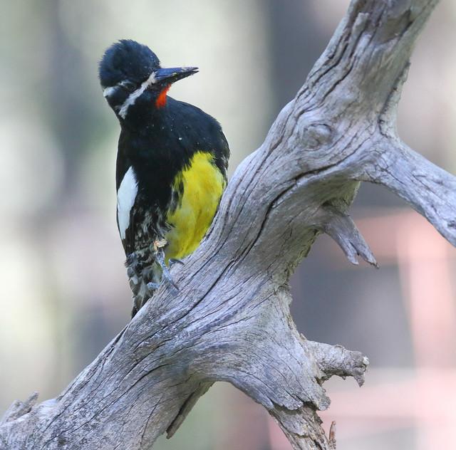 Williamson's Sapsucker -- Male (Sphyrapicus thyroideus); Santa Fe National Forest, NM, Thompson Ridge [Lou Feltz]