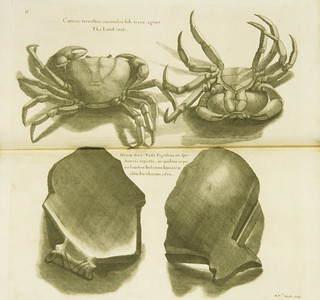 Cancer terrestris cuniculos sub terra agens =: The land crab