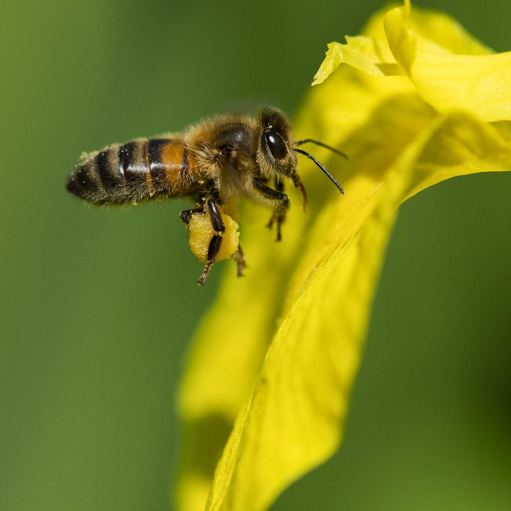 Honningbie på Marthahaugen - Bilde av Marthahaugen Gård i Sortland