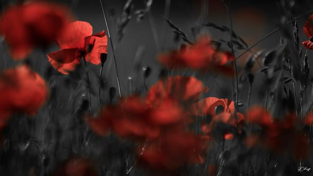 Poppies champêtre