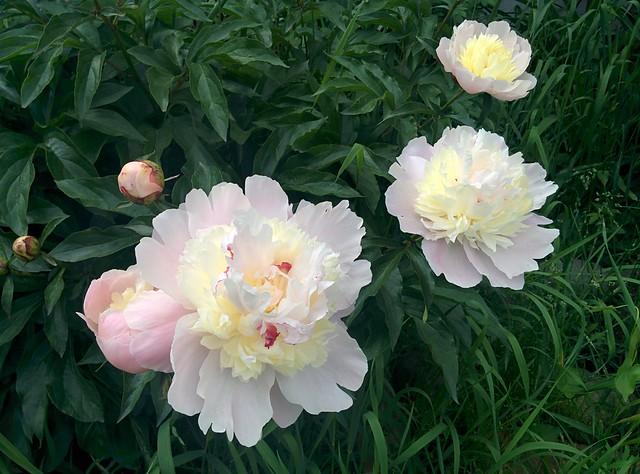 Peonies in pink and cream #toronto #dovercourtvillage #dupontstreet #flowers #peonies #peony #pink #cream