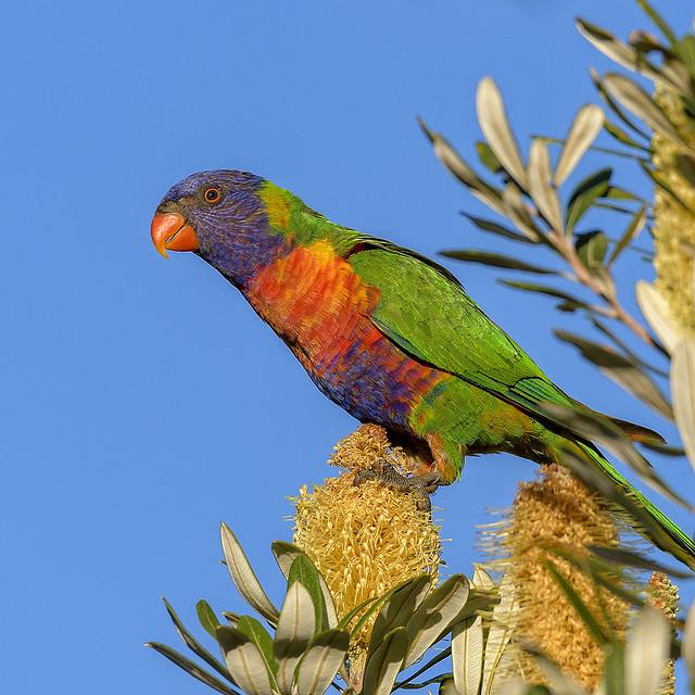 the nectar hunters - rainbow lorikeet in the banksia