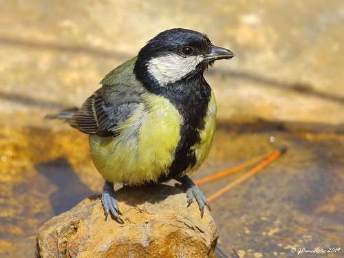 Chapim real - Parus major - Great tit | by jlfconceicao
